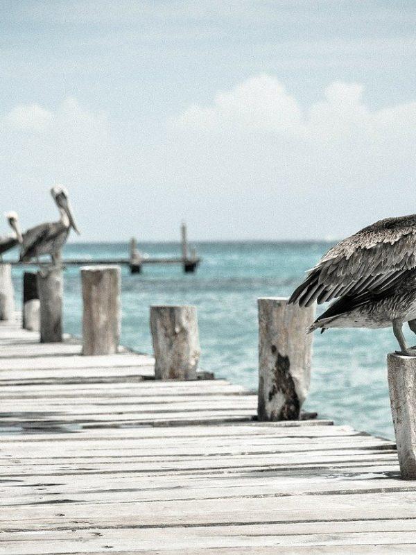 pelican, water bird, pelecanus conspicillatus